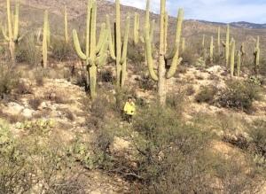 Saguro cactus forest.