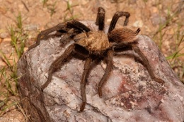 Desert Blonde Tarantula (Aphonopelma Chalcodes) on a rock
